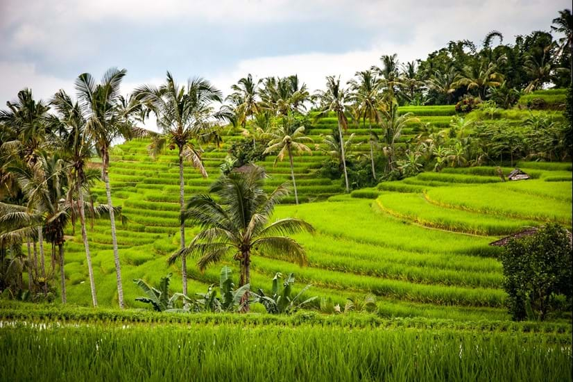 Indonesia Rice Fields.jpg