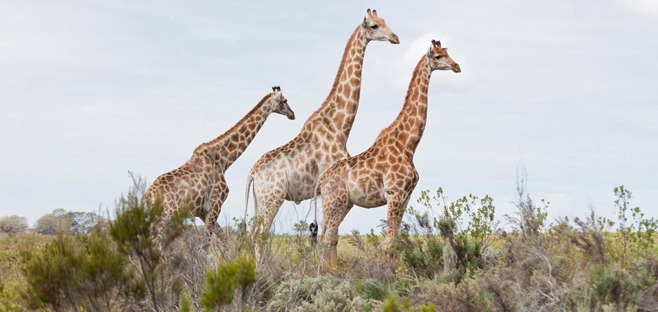 oxford_private_travel_luxury_holiday_south_africa_giraffes.jpg