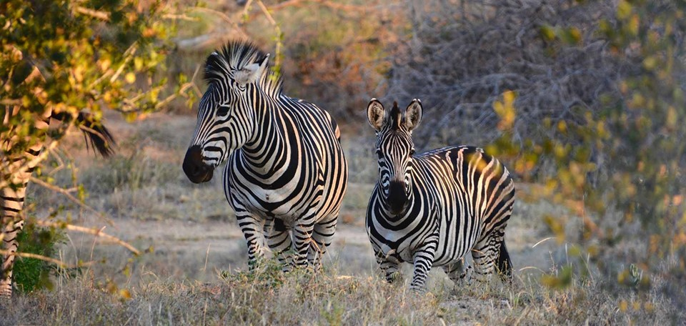 phinda_private_game_reserve_south_africa_zebra.jpg